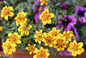 Bidens ferulifolia cascading from a hanging basket.