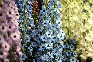 Brians loving the delphiniums this year.