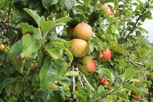 Lou has been inundated with apples in her new garden. So the BBC Radio Solent presenters have made their own special cider.
