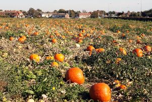 The Sompting Pumpkin Picking Patch is back for 2019