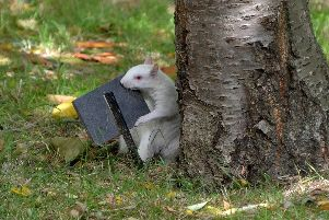 Monty the albino squirrel.'Picture: Patrick Galway.