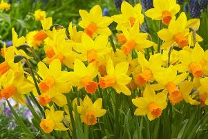 Spring is only 20 weeks away so plant daffodils and narcissus now.