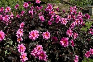 Dahlias - lovely... until they get frosted.