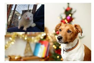 Holly the Ferret at Stubbington Ark (inset) with a dog at Christmas time