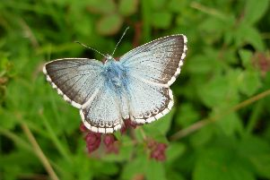 Chalk Hill Blue found on Portsdown Hill, by Micky Pape
