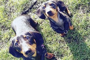 Mum-of-two Robyn Jacquest-Hill's 18-month-old miniature dachshunds T-Rex and Dolly. Picture: Robyn Jacquest-Hill