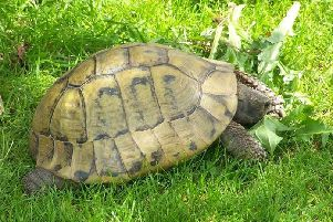 One of the tortoises stolen from a Melton property EMN-190423-104015001