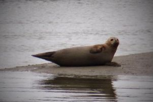 The seal gives a wave at it relaxes on the river. Photo by Carolyn Green