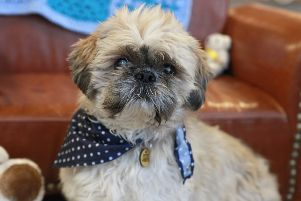 Alfie the shih tzu has been waiting more than 250 days for a home