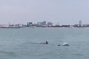 Dolphins swimming in the Solent on Sunday June 23 2019. Picture: Jimmy Colley/ @sinnerco.ig.