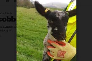 Safe hands ... the rescued lamb