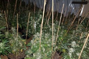 Some of the plants discovered in the cannabis factory. Picture: Sussex Police