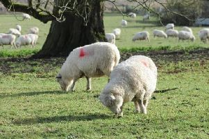 More than 100 sheep and lambs have been stolen or butchered across the county. Stock image.