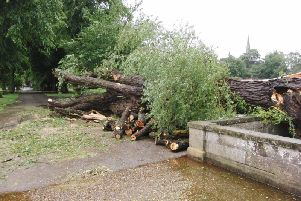 The fallen tree in St Nicholas Park. Photo by Geoff Ousbey.