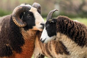 Two sheep kissing at Charlecote Park in Wellesbourne (Credit: Jana Eastwood)