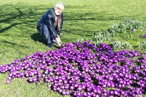 Rotarian David Chapman by one of the carpets of crocus