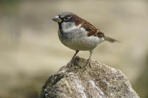 House Sparrow ENGSUS00120121220114758
