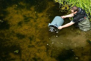 The fish being released by the Environment Agency