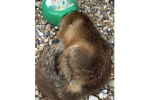 The fox got a bit stuck. Picture: RSPCA