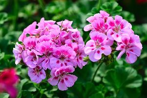 Now's the time to take six-inch cuttings of indoor pelargoniums.