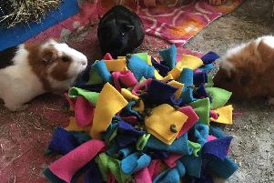 Guinea pigs enjoy an enrichment exercise. Picture: RSPCA (South East)