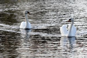 A couple of swans in Lurgan Park