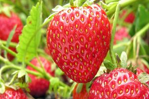 Brian says it's time to hoe through your strawberry plants.
