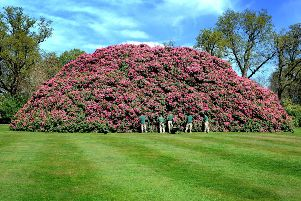 The monster rhododendron just keeps on getting bigger. Photo: Steve Robards  SR1707293 SUS-171104-172709001