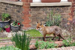 The friendly fox that has become a star in Southwater. Photo: Andy Bray SUS-191204-161620001
