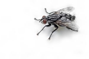 'Horrid black flies' are annoying residents