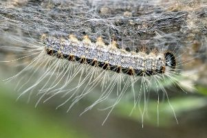 Oak processionary moth. Photo: Buglife.org.uk SUS-190513-164637001