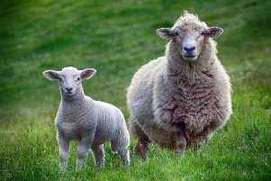 More than 80 sheep have been stolen from a field in Barns Green SUS-190815-100432001